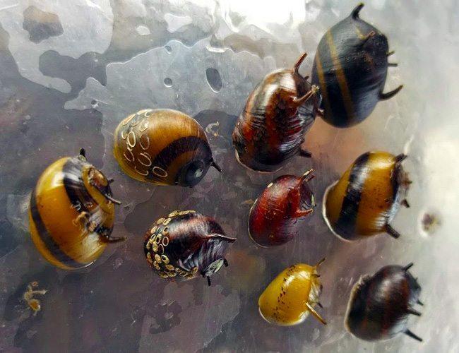 Algae Eating SpiTricolor Assorted Nerite Snail