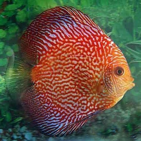 Assorted Vietnam Fancy Colors Mixed Discus
