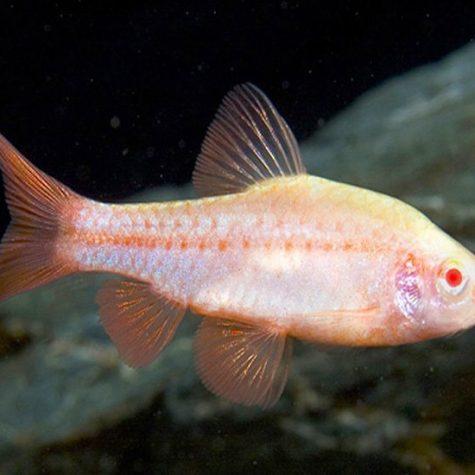 Albino Cherry Barb Tropical Fish