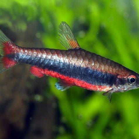 Beckford's Tropical Pencilfish