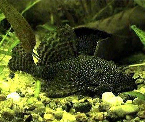 Black Bushynose Pleco Algae Fish L-144