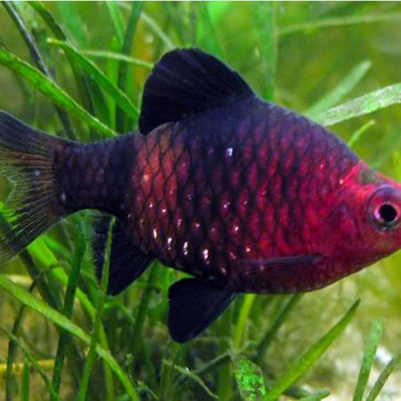 Black Ruby Barb Tropical Fish
