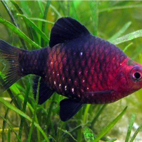 Black Ruby Barb Tropical Fish