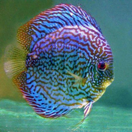 Blue Checkerboard Discus Fish