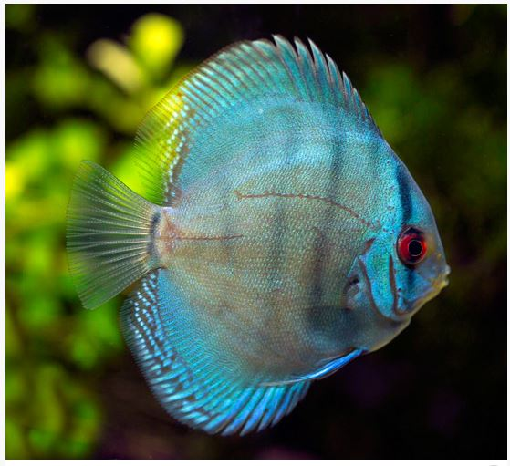 Blue Diamond Discus