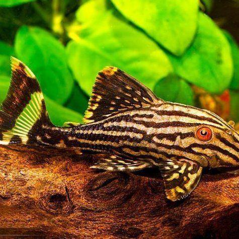 Broken Line Royal Pleco Algae Fish