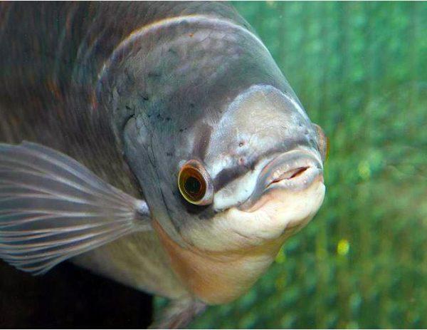 Buck Toothed Tetra Exodon Paradoxus Tropical Fish
