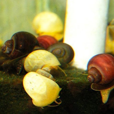 Bush Grazer Snail Assortment Pack