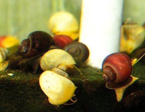 Bush Grazer Snail Assortment Pack