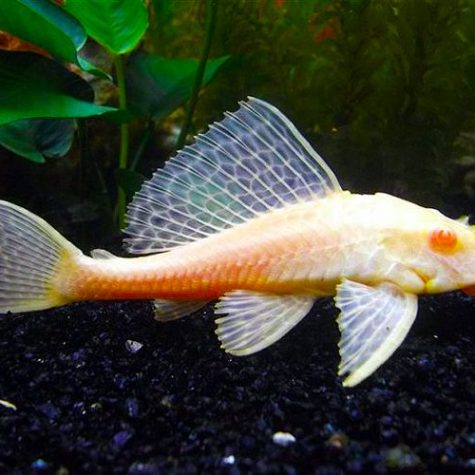 Chocolate Albino Plecostomus Pleco Pond Fish