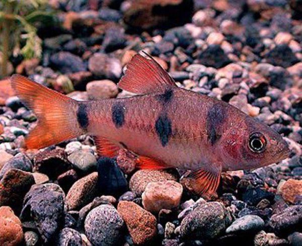 Clown Barb Tropical Fish
