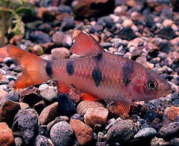 Clown Barb Tropical Fish Arizona Aquatic Gardens