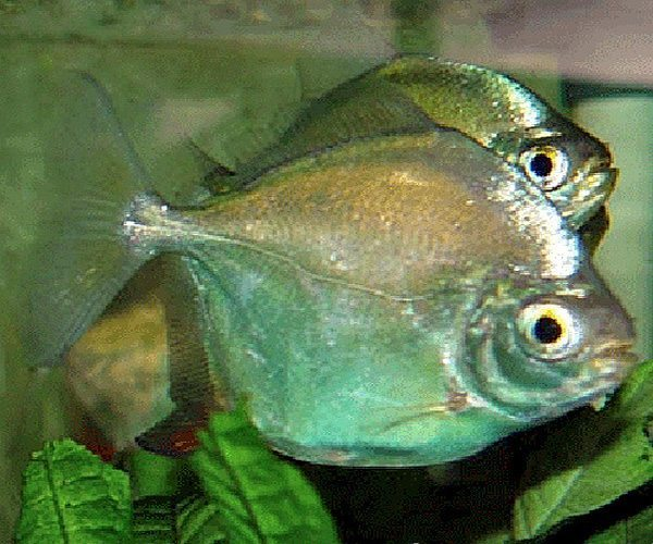 Counterfeit Silver Dollar Aquarium Fish