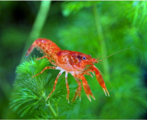 Dwarf Mexican Orange Crayfish