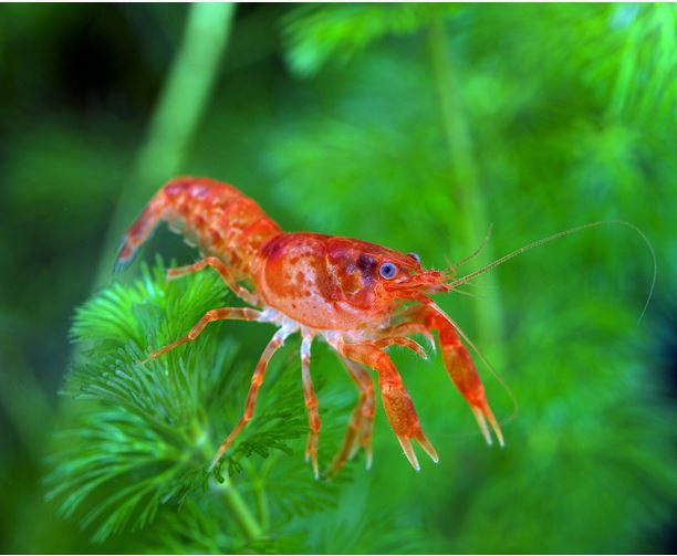 Dwarf Mexican Orange Crayfish