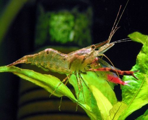 Freshwater Custodian/Scavenger Red Claw Shrimp