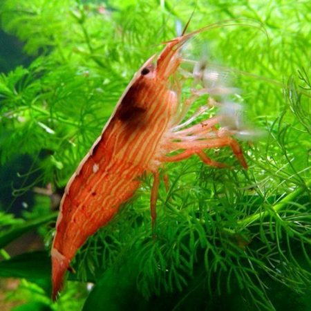 Freshwater Filter Feeding Singapore Wood Shrimp