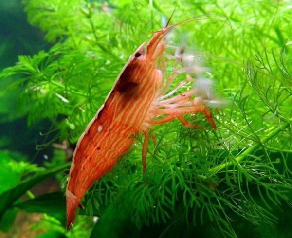 Freshwater Filter Feeding Singapore Wood Shrimp