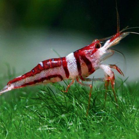 Freshwater Harlequin Shrimp