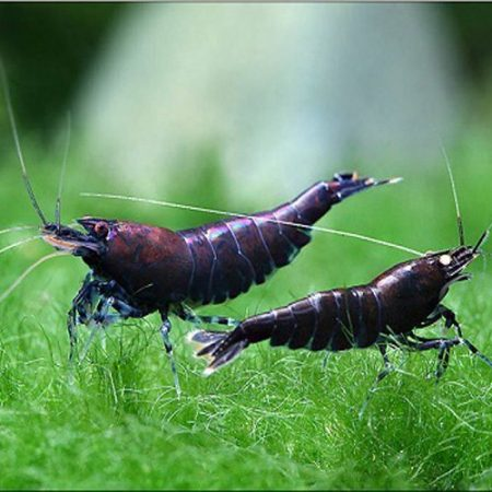 Freshwater Orange-Eye Blue Tiger Bee Shrimp