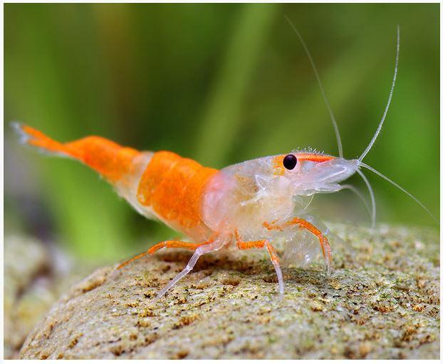 Freshwater Shrimp - Rili Orange Shrimp | Arizona Aquatic ...Freshwater Shrimp