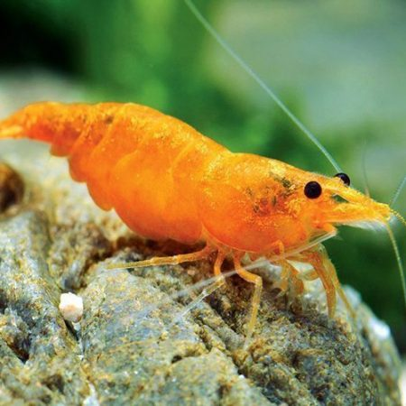 Freshwater Sakura Orange Sunkist Shrimp