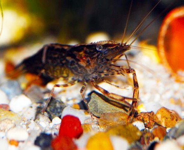 Freshwater Shrimp Custodian/Scavenger Chameleon Shrimp