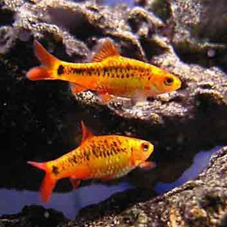 Gold Barb Tropical Fish