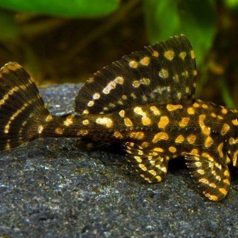 Gold Spot Pleco Pond Fish
