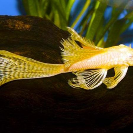 Golden Longfin Bushy Nose Pleco Pond Fish