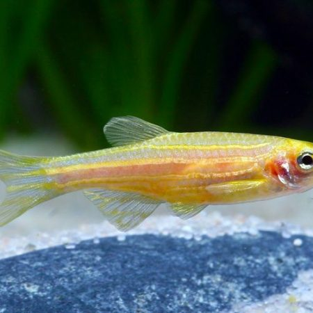 Golden Zebra Danio