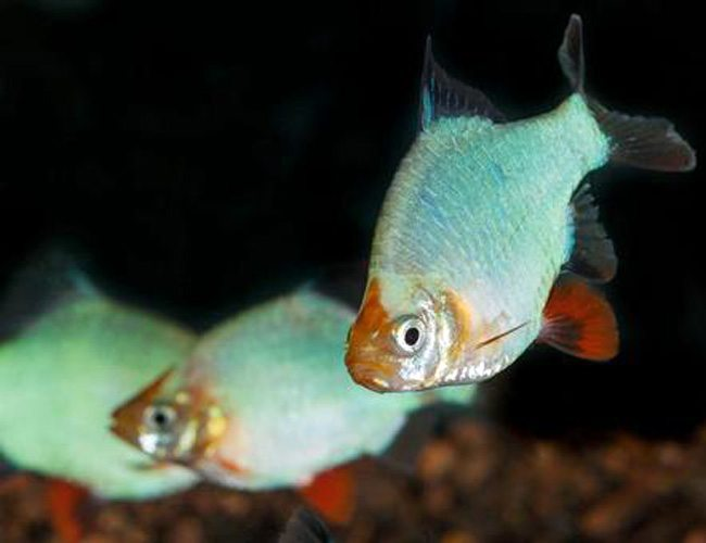 Green Platinum Tiger Barb Tropical Fish