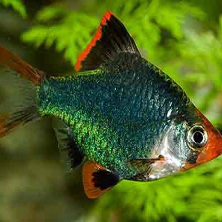 Green Tiger Barb Tropical Fish