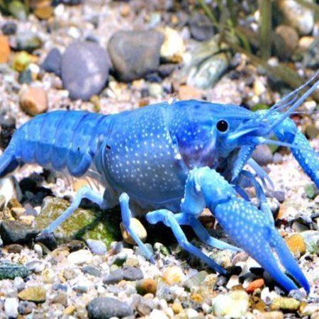 Hammers Cobalt Blue Lobster
