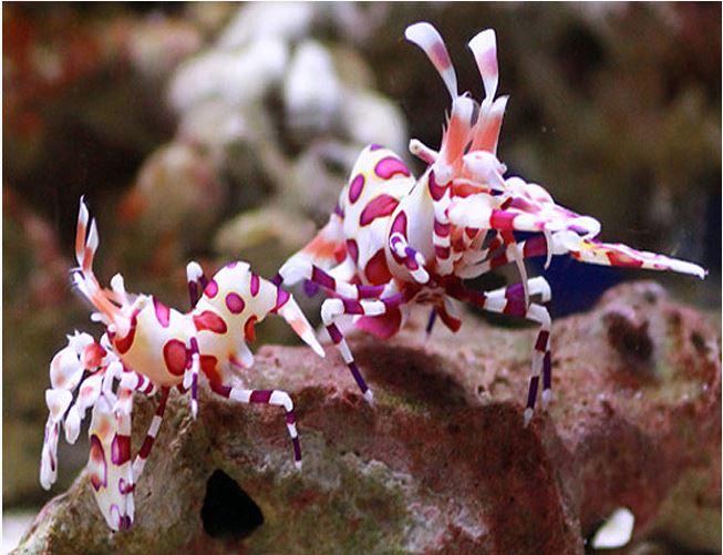 Harlequin Saltwater Shrimp