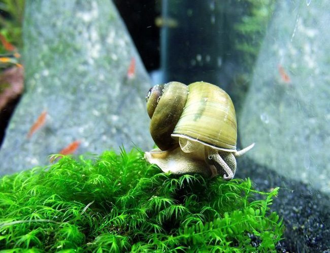 Japanese Trap Door Aquatic Pond Snail