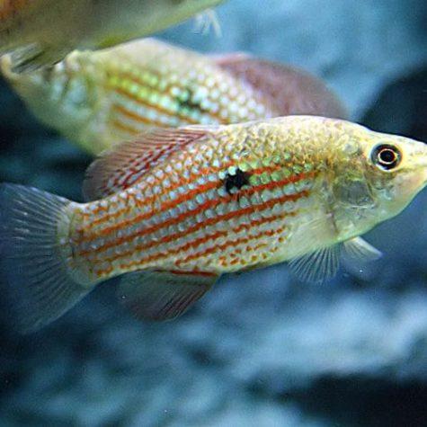 Juvenile Algae Eating American Flag Fish