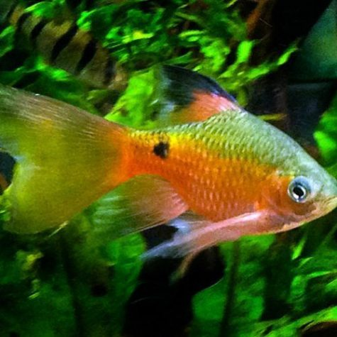 Longfin Rosy Barb Tropical Fish