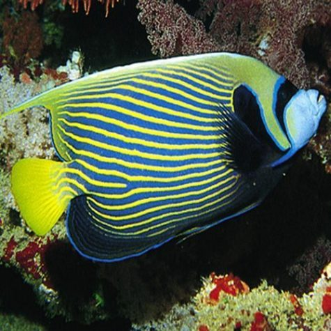 Marine Emperor Adult Angel