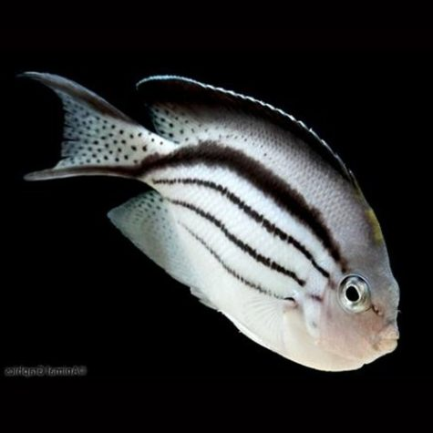 Lamark Angelfish