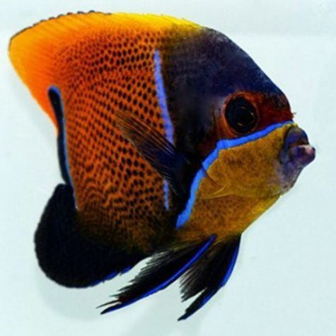 Majestic Angelfish Adult