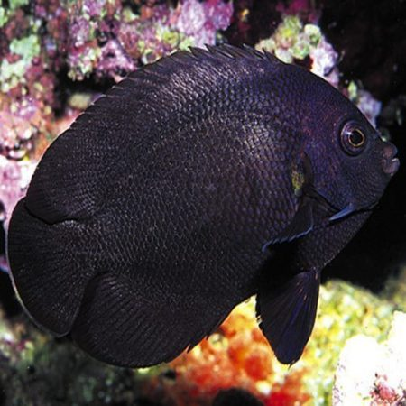 Midnight Nox Angelfish