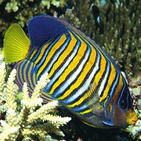 Regal Angelfish Indonesia