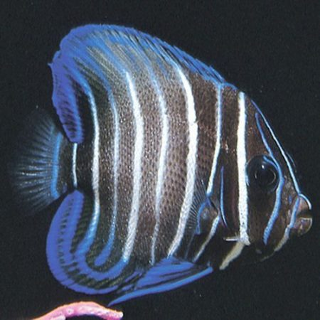 Six Bar Angelfish Juvenile