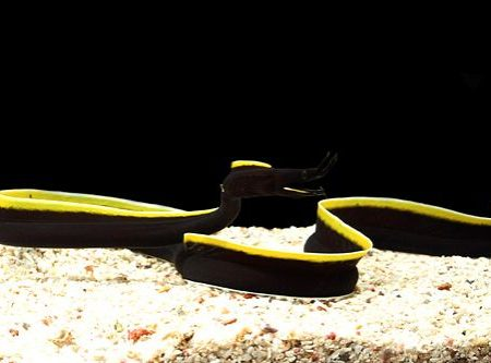 Black Ribbon Eel