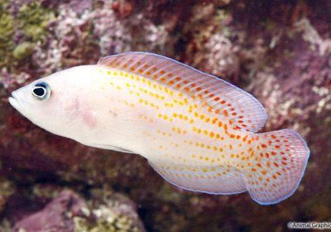 Cherry Spot Dottyback Pholidochromis