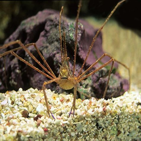 Marine Arrow Crab