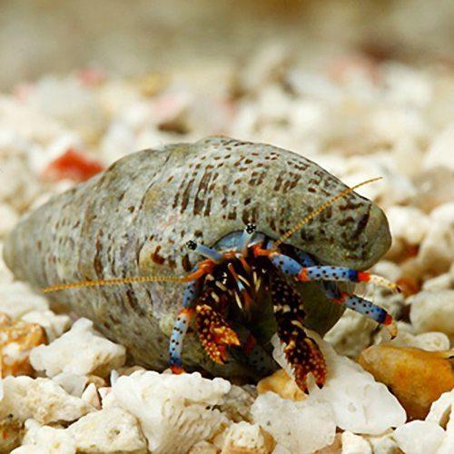 Marine Blue Leg Hermit Crab