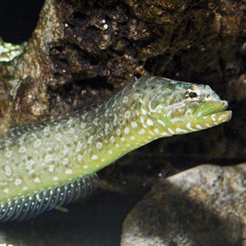 Eel Green Wolf