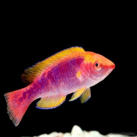 Solorensis Red Head Fairy Wrasse